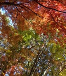 富士山の麓の紅葉