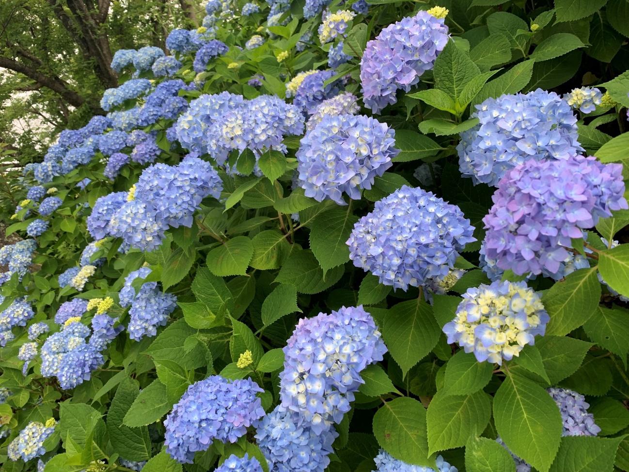 河口湖ハーブフェスティバルの紫陽花