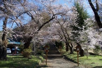冨士山麓の桜